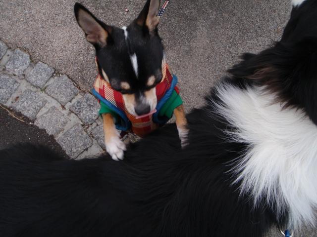 ご近所犬 ピース君&ローズちゃん
