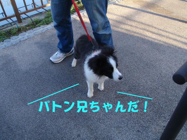 ボーダーコリー→ピレネー→柴犬