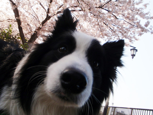 桜満開で〜す!
