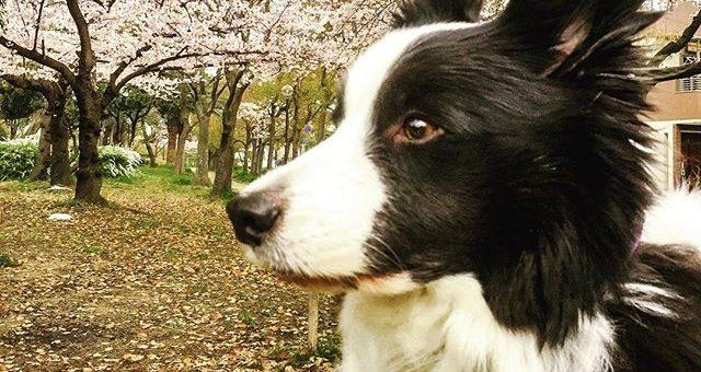 うちの隣の公園、桜がだいぶ咲いてきました。週末の天気予報はずれるといいなぁ。#てるてる坊主#いつになく真剣