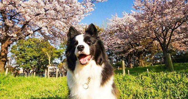 フニャっとバージョンもどうぞ!#犬と桜を一緒に写すの難しい