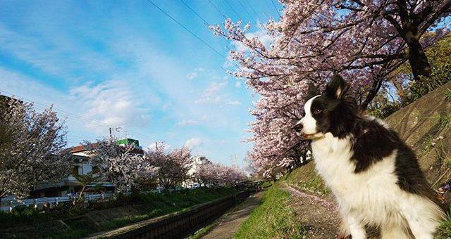 本日、晴れ!桜が咲いてから初めての晴れました。やっぱり青空に桜の色が映えますね。#モデル代ちょうだい