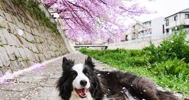 朝の散歩は桜色のトンネルをくぐってきました。#桜まだまだ見ごろ