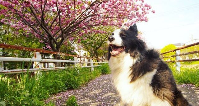本日、ライブ配信しつつ撮影した一枚。いつもの散歩道ソメイヨシノが散っていま八重桜が満開です。