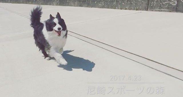 この日も元気に走ってたね。散歩の時も一緒に走ると楽しそうにしてたのを思い出すよ。
