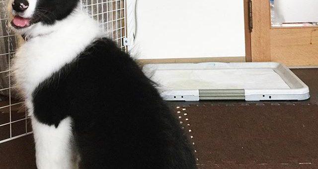 まだ3ヶ月だよね?なんかデカイんだけど、チミ。#ふやかしてるフードの匂いのする方を向いたまま動かない #phakchi