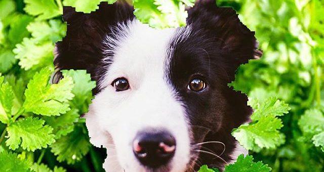 ボーダーコリーパクチーはパクチーの日を応援しています!みんなでモリモリ食べようね。#パクチーの日#8月9日 #非公認応援犬#全日本パクチー協会