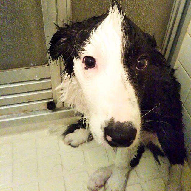 お風呂の日。前に入った時よりだいぶ毛が伸びたね。#シャワーは割と平気