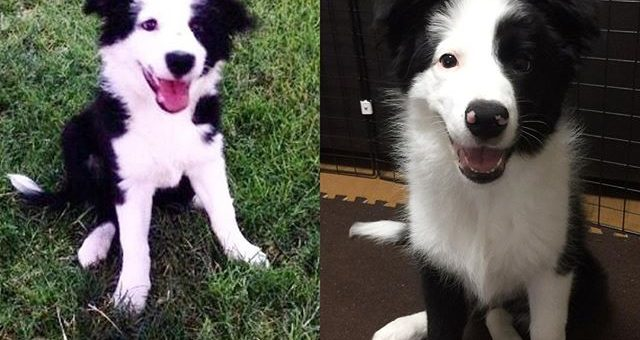 パクチーはどっち?メキシコの @adanielensa さんからうちののColyちゃん3ヶ月と双子みたいだとメッセージをもらって見てみたらほんとよく似てる!もちろんパクチーは左じゃなく右です。Which is Phakchi?He is right side one. Left side dog is Coly in Mexico.She looks like twins.