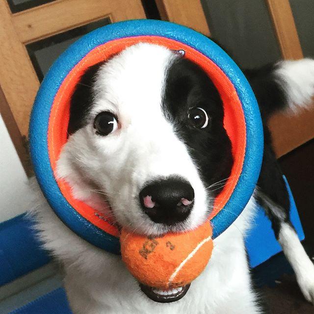 ボールをおもちゃのカゴから取ろうとしたら輪っかにハマっちゃったみたいです。#ハマったまま気にせず遊ぶやつ