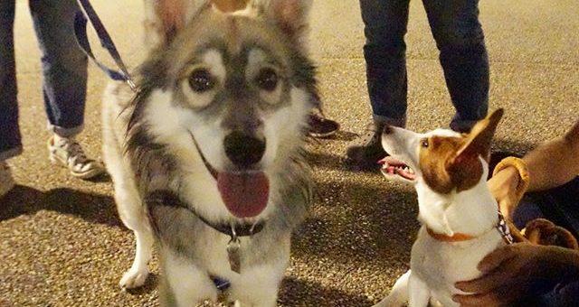 昨日は、カメラを持って夜散歩へ。1枚目最近のワンプロ相手のMix犬愛丸くんとジャックラッセルテリアの写楽くん2枚目マイペースのMix犬茶々丸くんパクチー以外はみんな和名たね。
