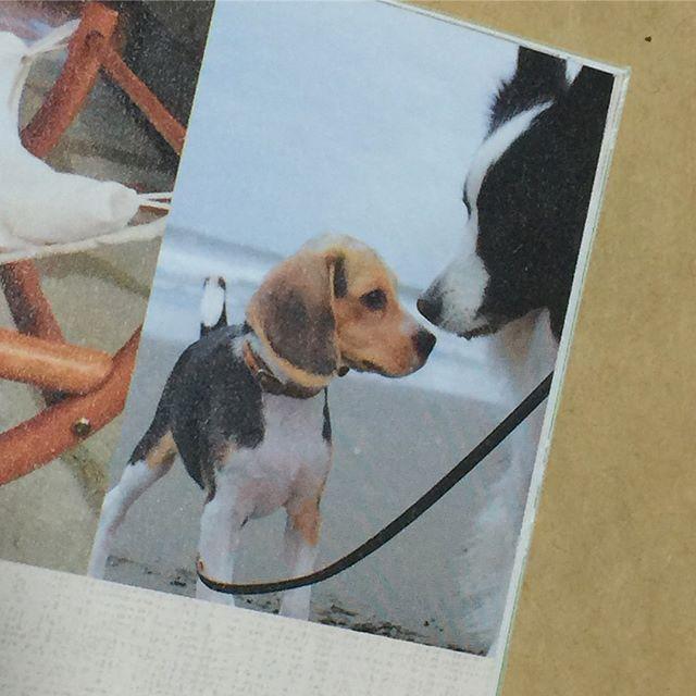 パトン、二度目の「愛犬の友」に掲載!ビーグル特集なのに、一緒に載っちゃいました。パトンは、やっぱなんか持ってるね。#愛犬の友#58ページ