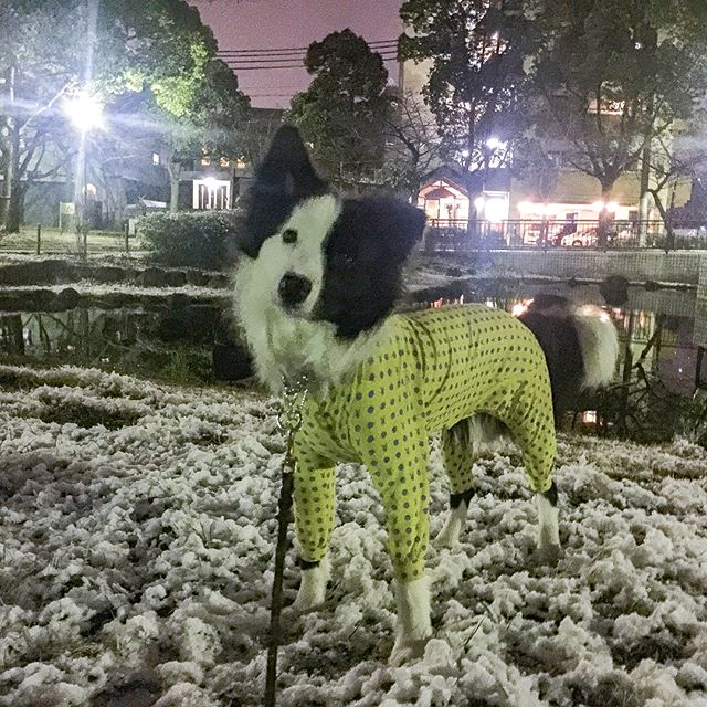 尼崎にも少しだけ雪が降りました!パクチーは、雪初体験だったけど量が少なかったからよく分からなかったかな?近々どこかで雪遊びしようね。#初雪 #雪遊び