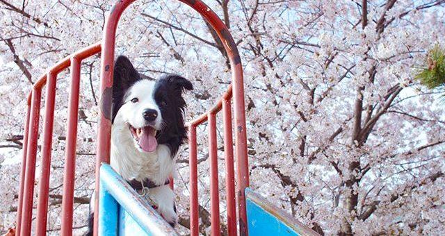 桜満開です!昨日は沢山走ったから今日はゆっくりお散歩。#花見散歩