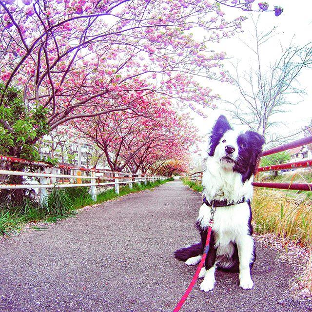 いつもの散歩道に八重桜のトンネルが出来てました。#八重桜