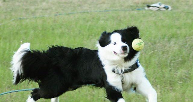本日はボール遊び。必死で追いかけると変顔になっちゃいます。一緒に遊べなかったけど@taniwaki_anko さんのところのアンジーとダイクに会えました。いつか遊ぼうね。